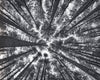 Sugar Pine Forest, Australia, Black and White