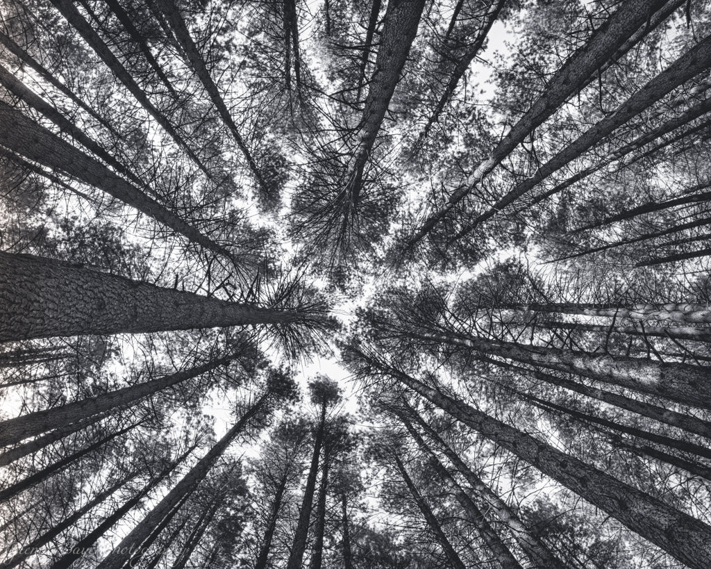 Tree tops in the Sugar Pine Forest in Australia, in black and white