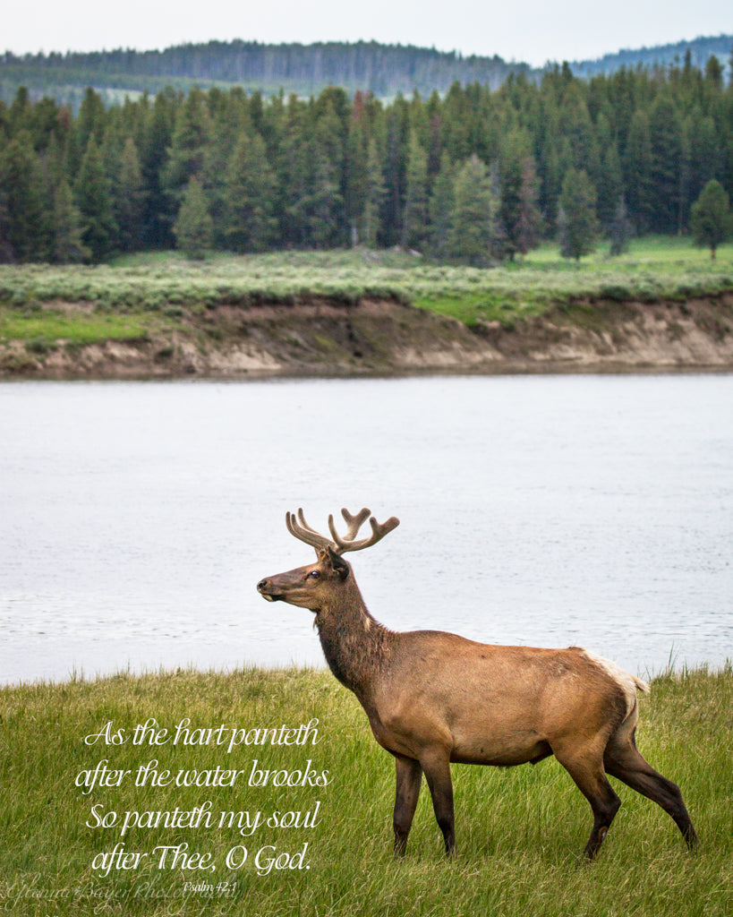 Elk beside river in Yellowstone National Park  with scripture verse