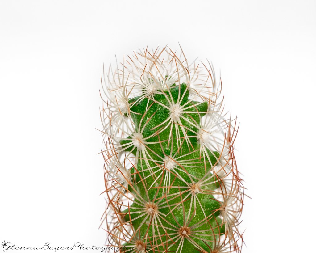 Close up of Beehive Cactus with white background
