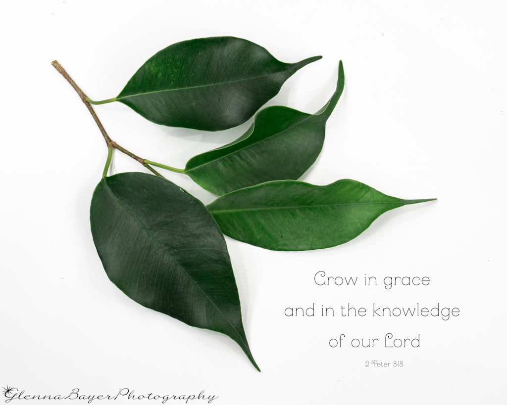 Four green ficus leaves on branch with scripture verse