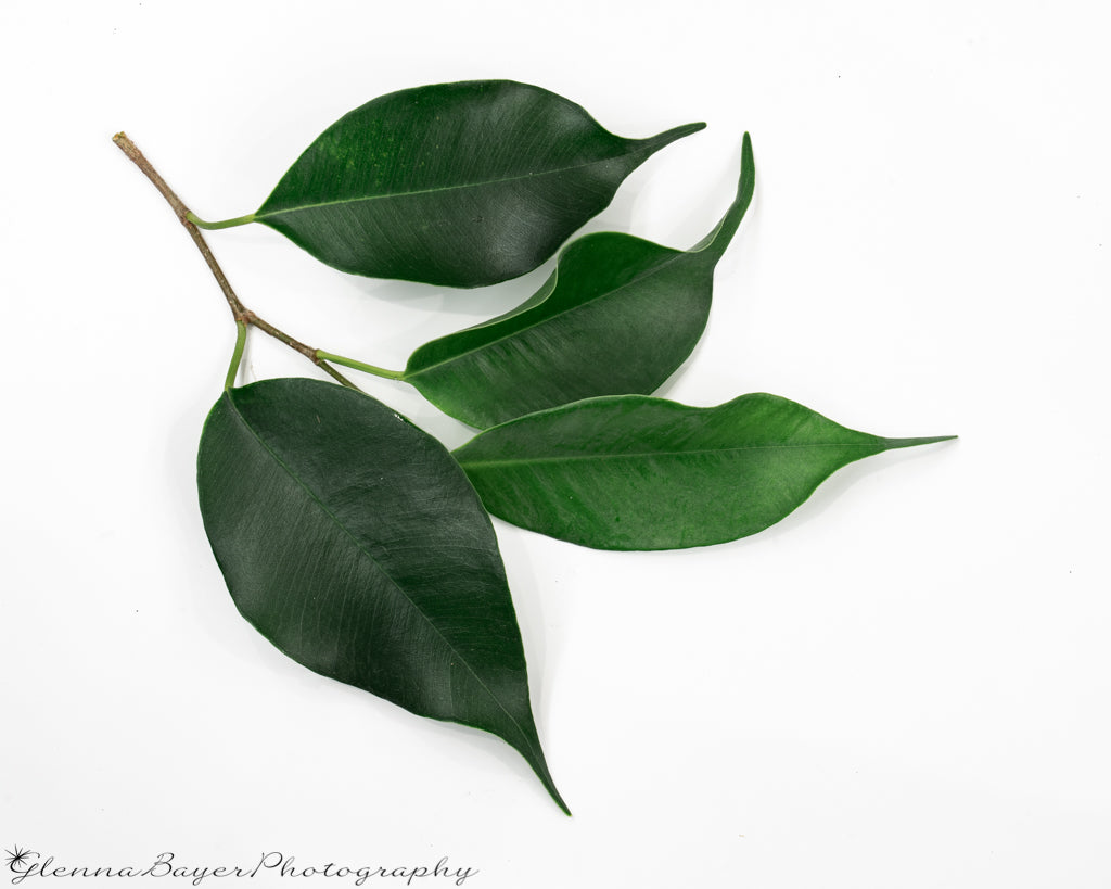 Four green ficus leaves on branch