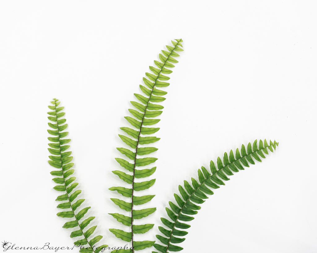 Three Fern Fronds