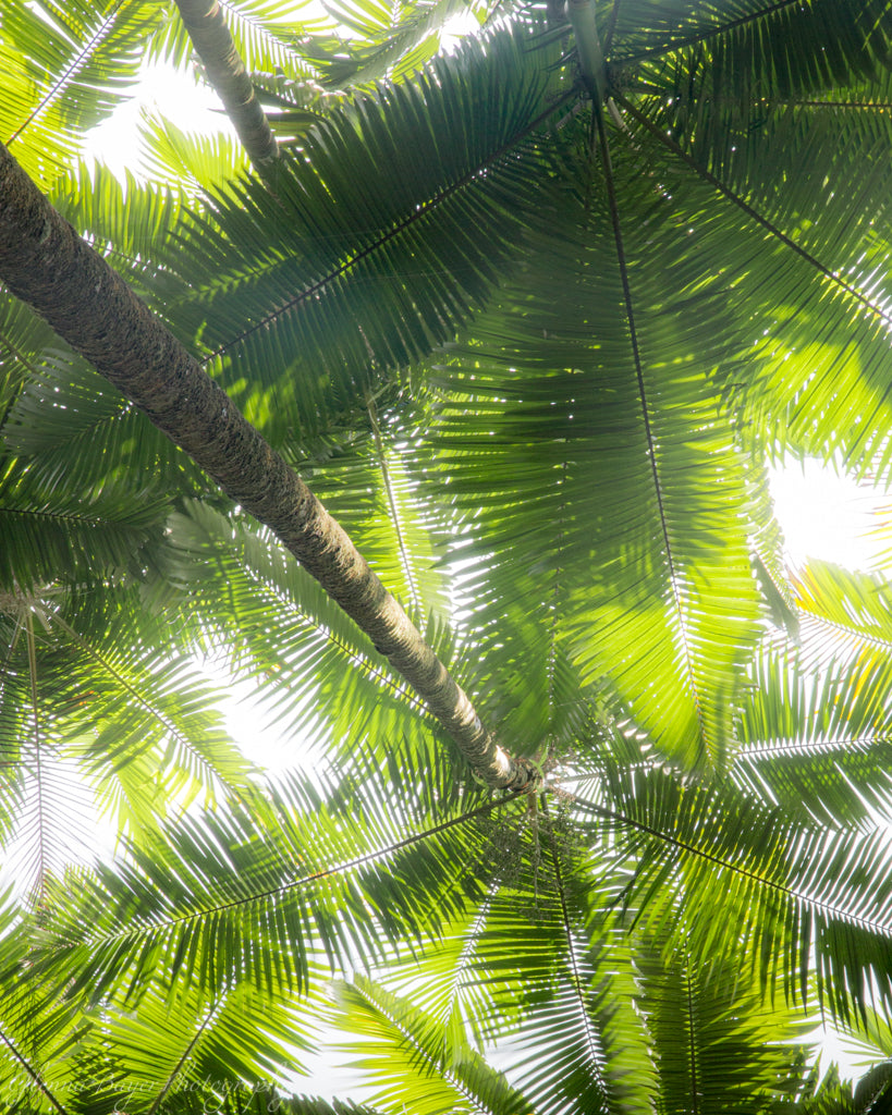 Hawaii Palms 3 (0531)