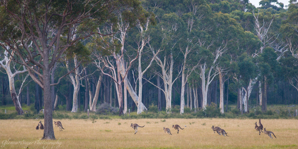 Kangaroos in the Wild, Australia Pano (0273)