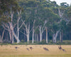 Kangaroos Running in the Wild Australia Trees Field Yellow Green
