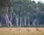 Wild kangaroos jumping through pasture with eucalyptus trees in Australia