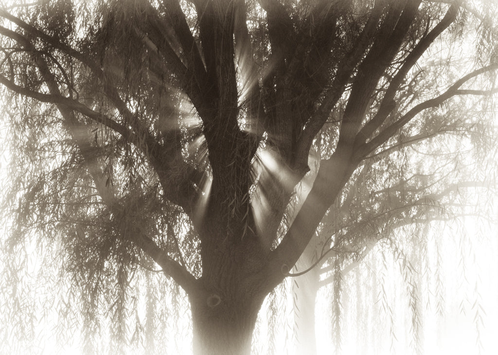 Willow Tree and Sun Rays (0534)