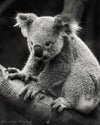 Koala in Australia, Black and White