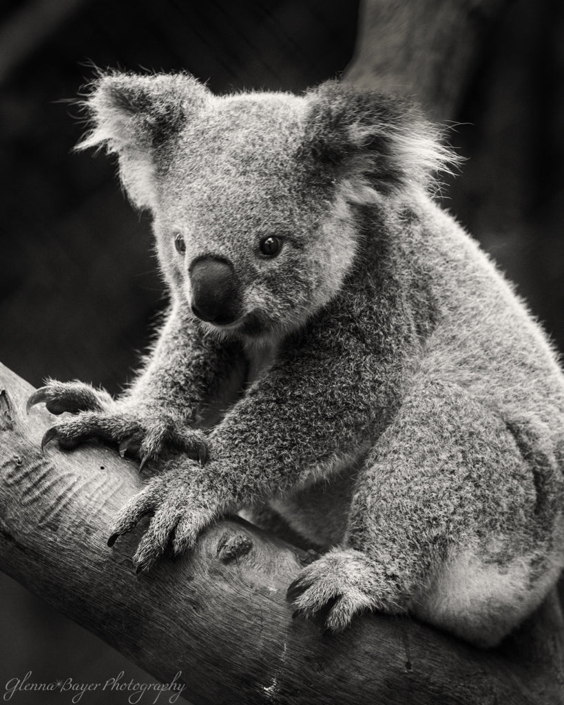 Koala Bear sitting in tree in Australia