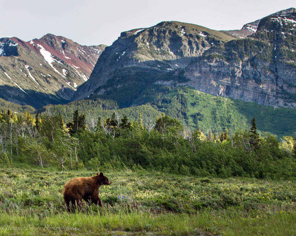 Black Bear in Glacier National Park with mountains in background.