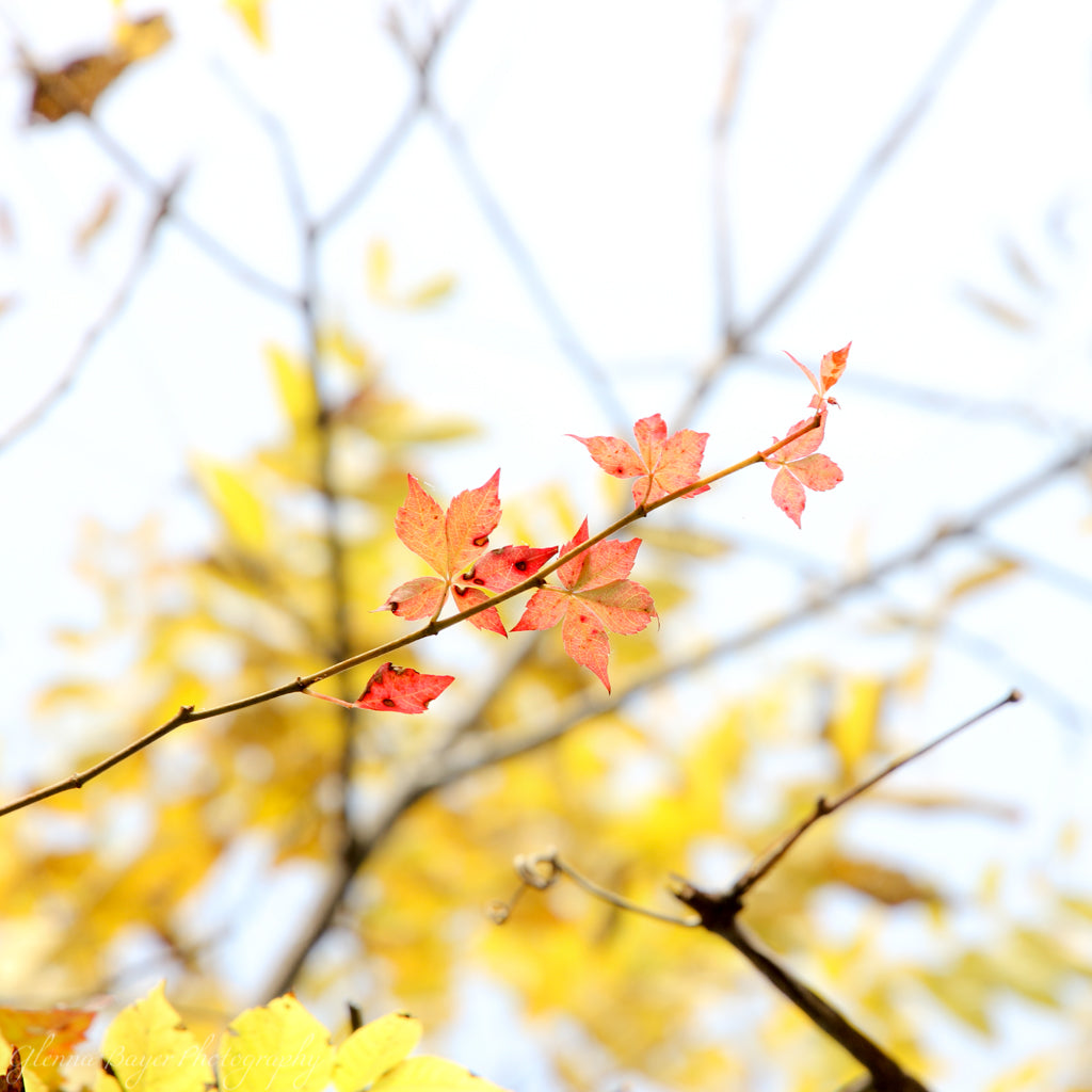 Red and yellow tree leaves
