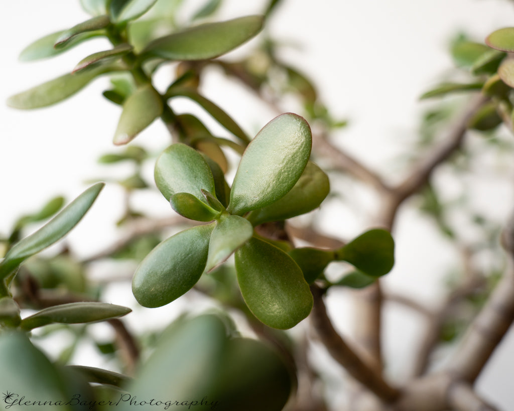 Jade plant and branches with white background