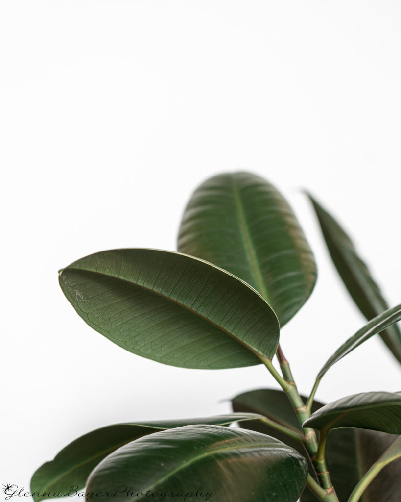 Rubber tree plant with white background