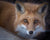 Head shot of a red fox