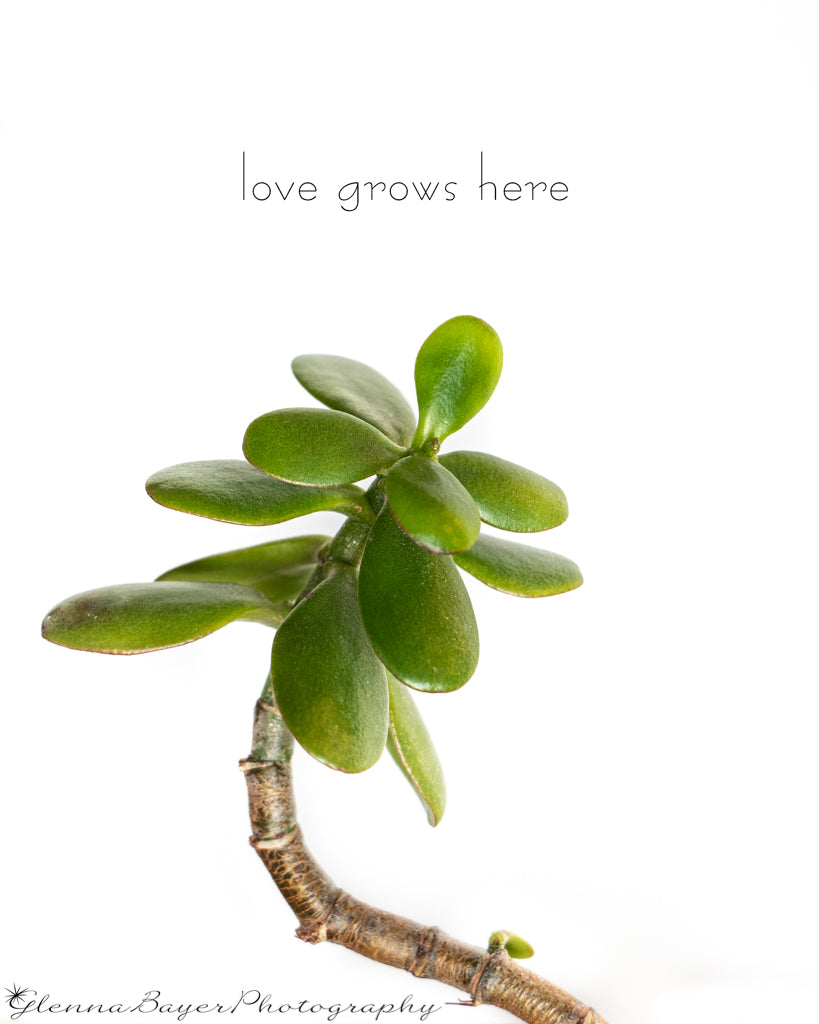 Jade plant with white background
