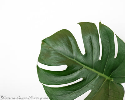 Monstera Leaf in lower right corner with white background