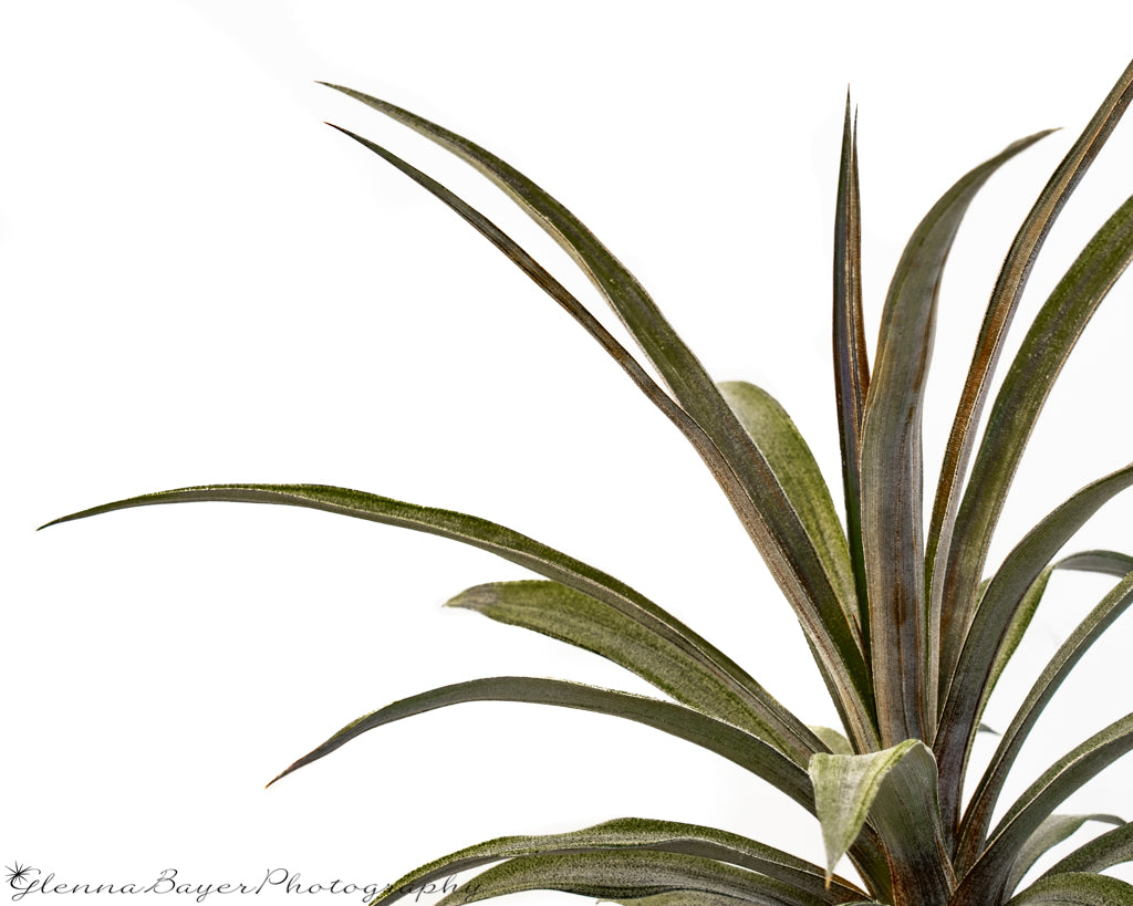 Pineapple plant with white background