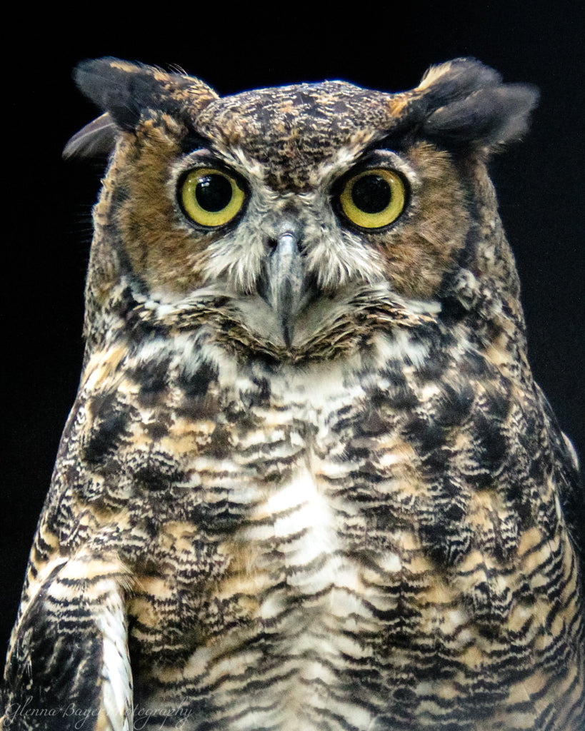 Head shot of brown, white, and black owl