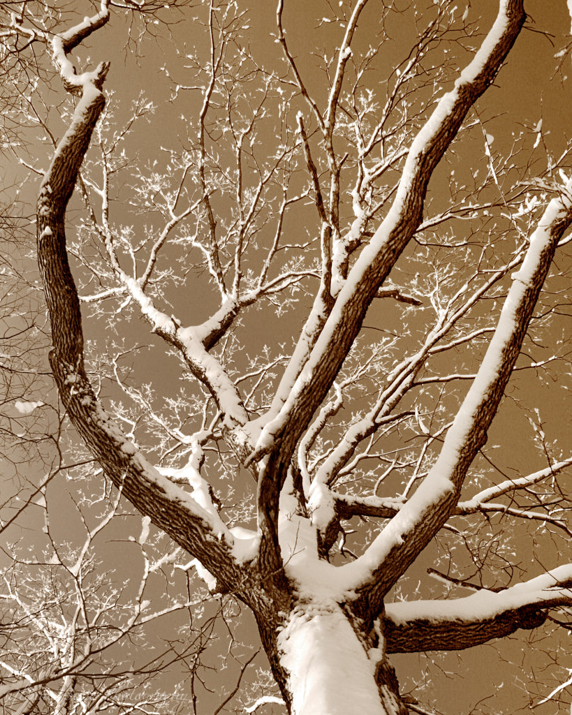 Brukner Tree in Winter (0127)