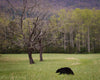 Bear at Cades Cove Tennessee, Wildlife, Green, Trees