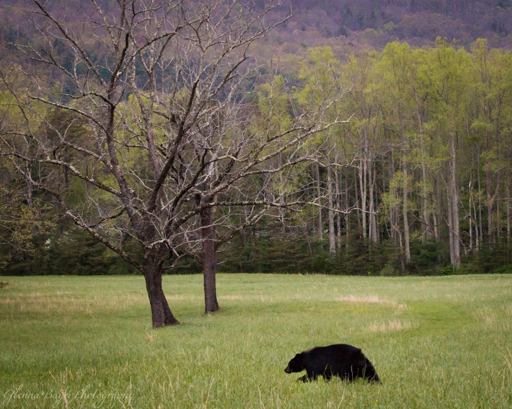 Black bear at Cades Cove Tennessee