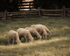 Carriage Hill Sheep