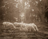 Carriage Hill Sheep, Bible Verse, Inspirational, Sepia