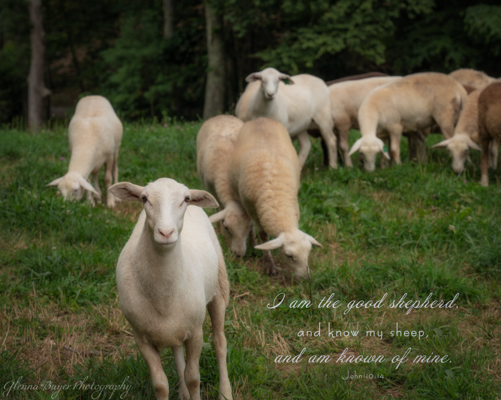 Flock of sheep in green pasture with scripture verse