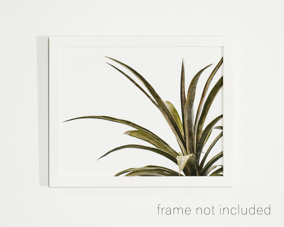 framed print of Pineapple plant with white background