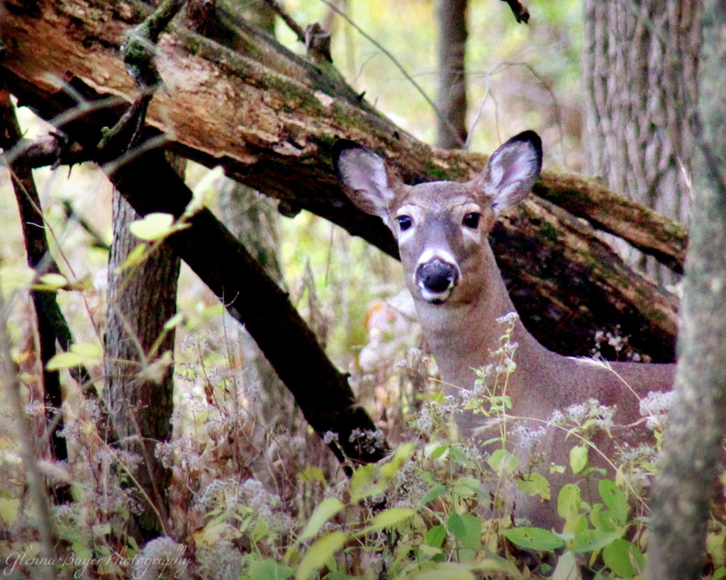 White-tailed Doe in woods at Brukner Nature Center, Ohio