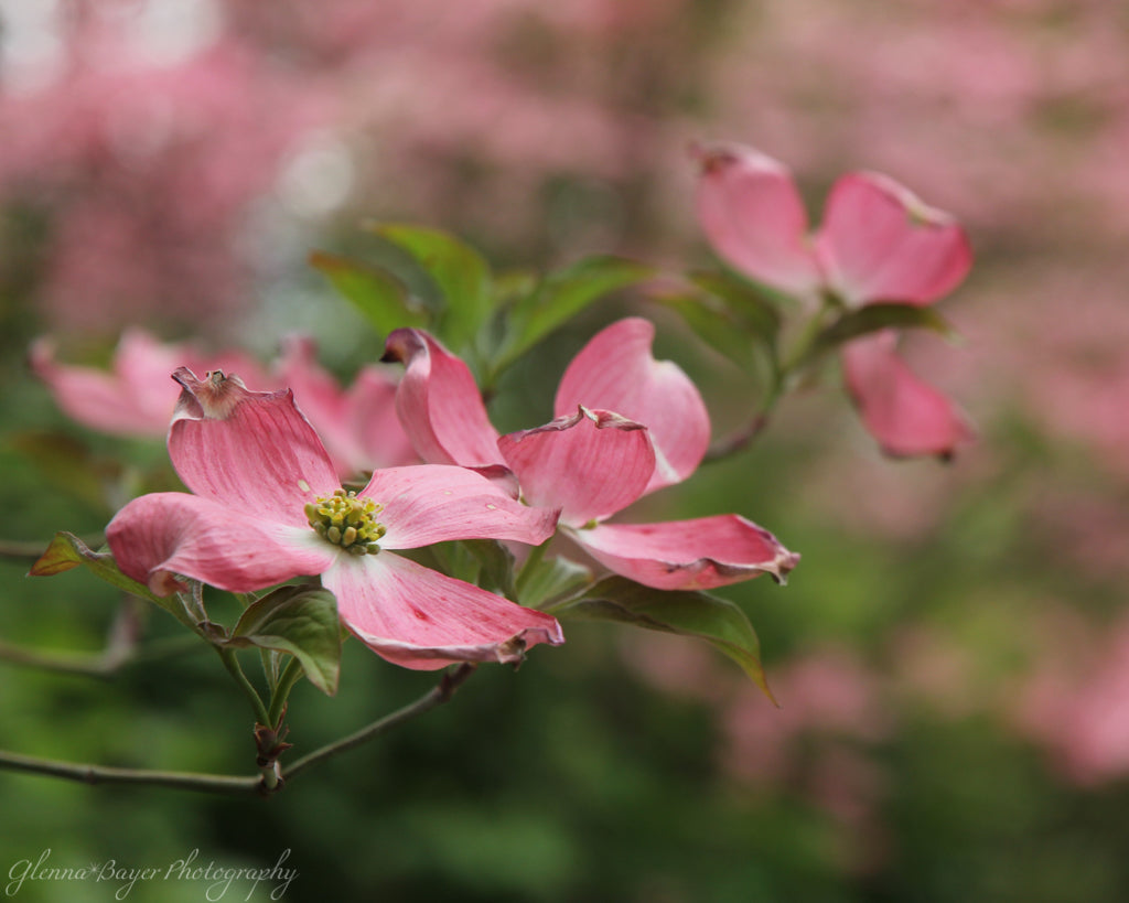 Pink dogwood tree blooms