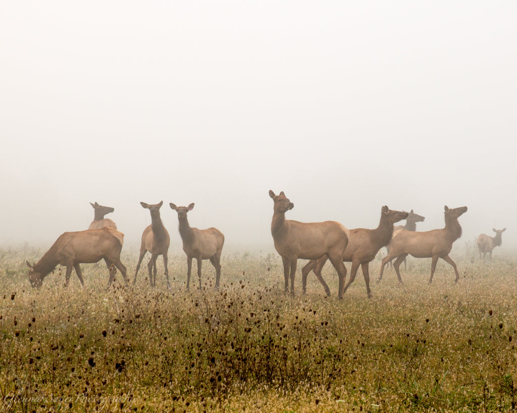 Elk herd in a meadow on a foggy morning