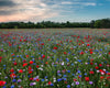 Enon Poppy Field, Red, Blue, Purple, Green, White