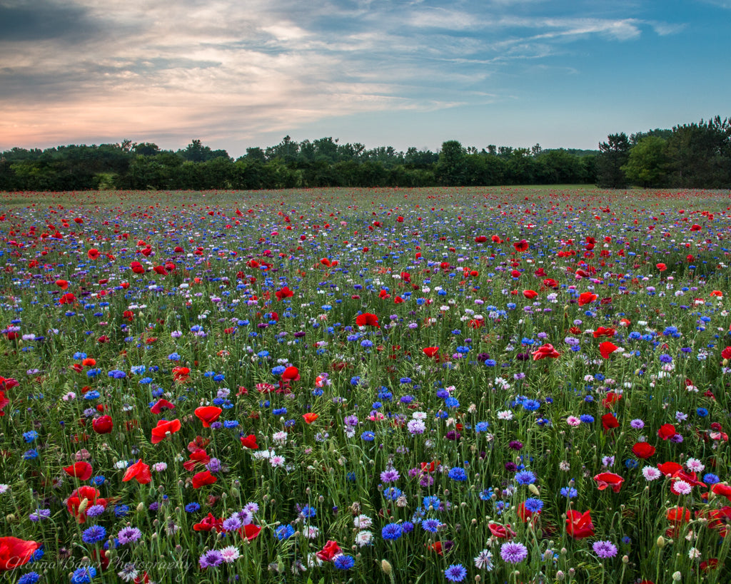 Large Poppy Field with red, purple, blue, and white flowers in Enon, Ohio