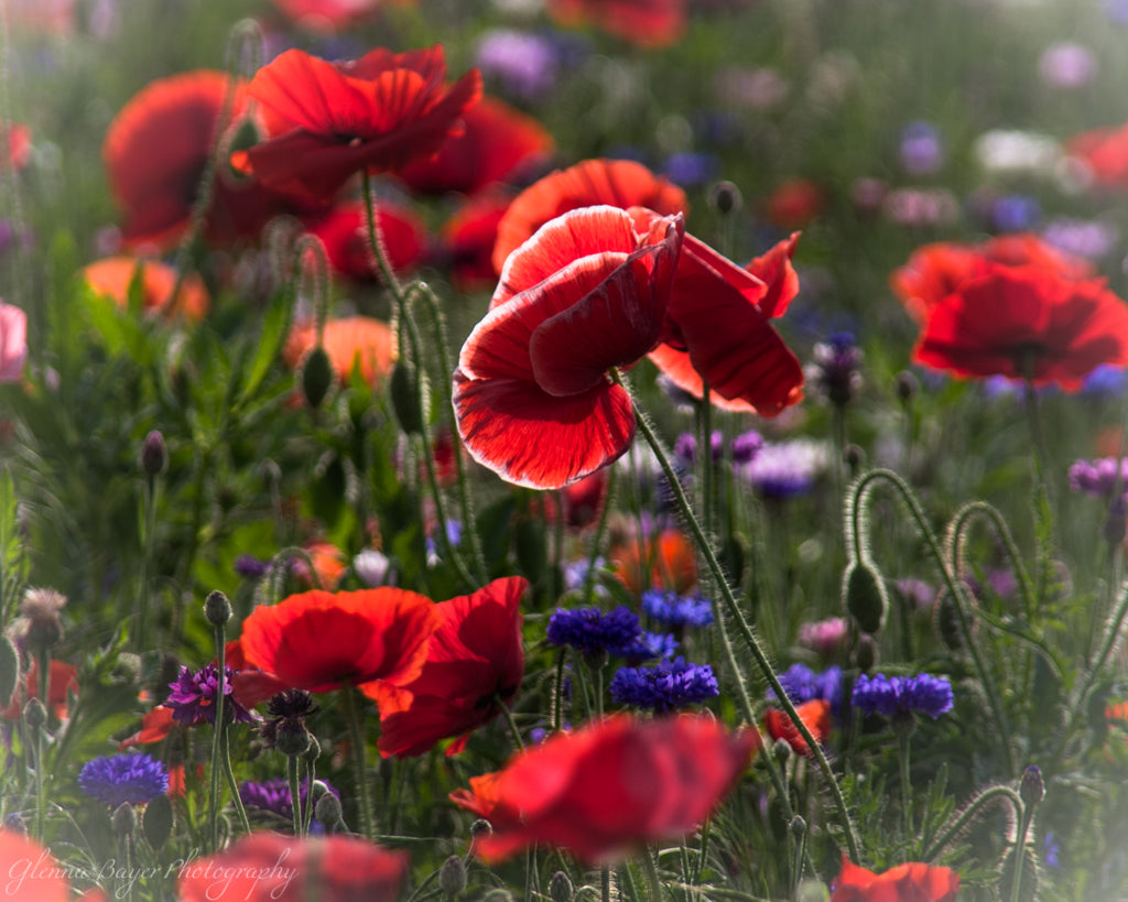 Poppy Field with red, purple, blue, and white flowers in Enon, Ohio