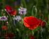 Enon Poppy Field, Red, Purple, Green, White, Flowers