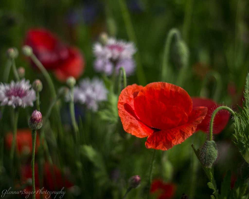 Enon Poppy Field 4 (0013)