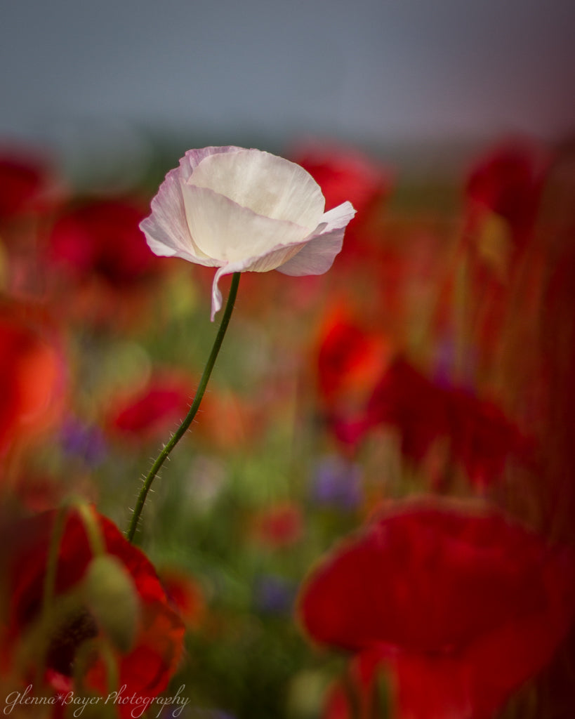 Enon Poppy Field 5 (0107)