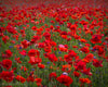 Enon Poppy Field, Green, Red, Flowers, Summer,