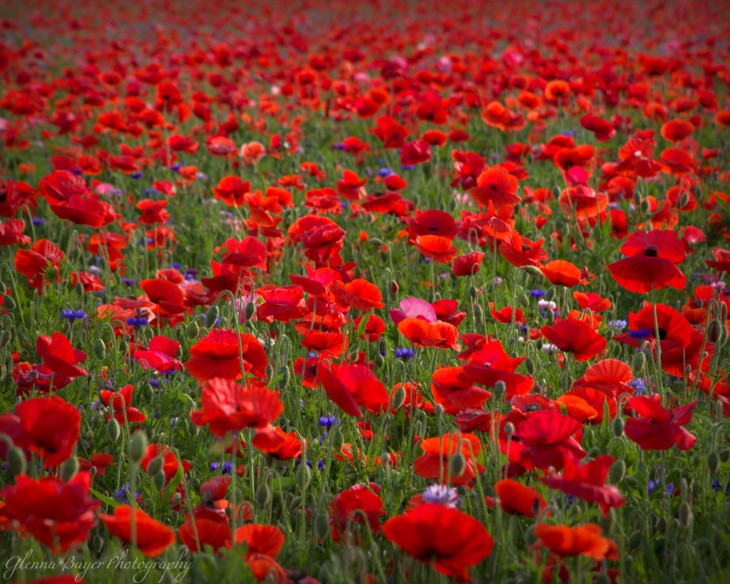 Poppy Field with red flowers in Enon, Ohio