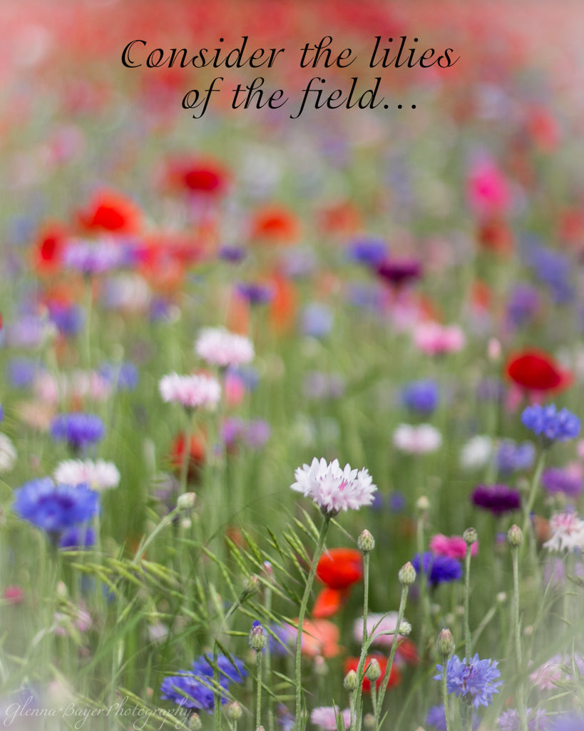 Poppy Field with red, purple, blue, and white flowers in Enon, Ohio with scripture verse