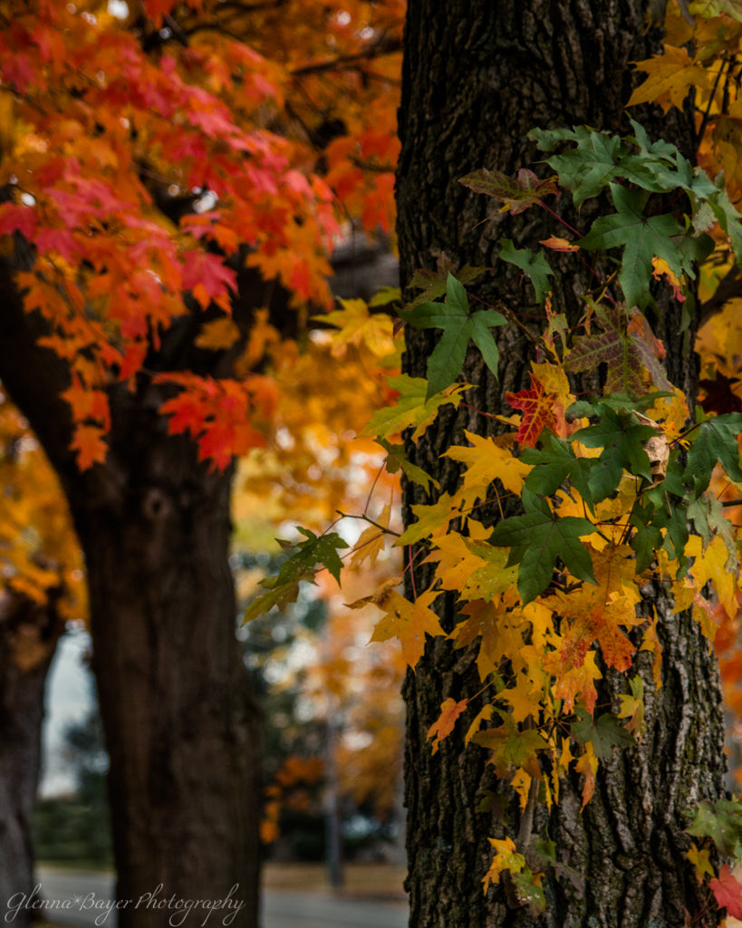 Fall tree foliage with red, yellow, and green leaves