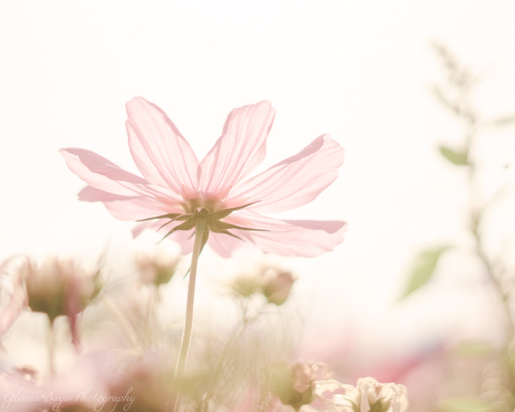 Pink translucent flower on a dreamy morning in belgium