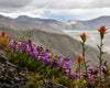 Purple and orange flowers on hillside at Mount Saint Helens