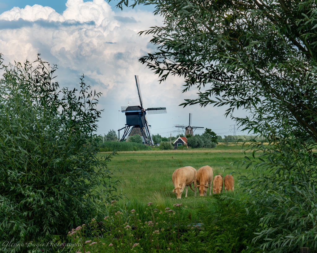 Holland Windmills in summer with brown cows in foreground