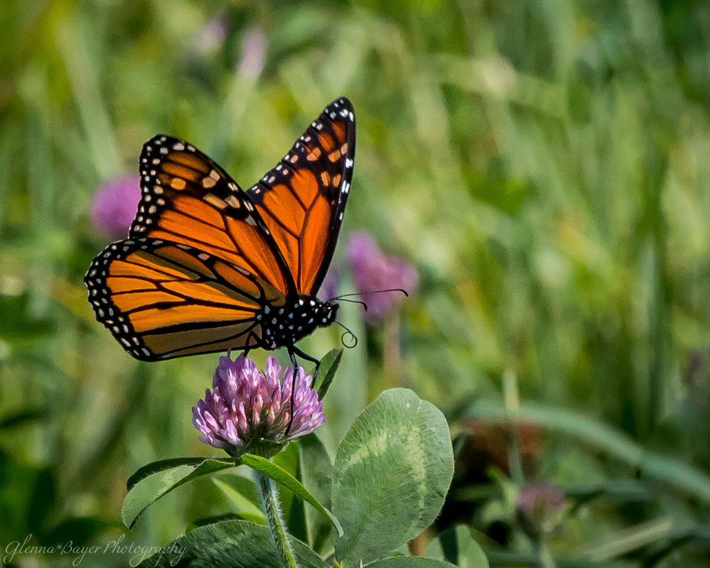 Close up of a Monarch Butterfly on clover