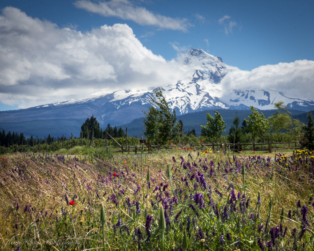 Purple wild flowers in field and Mount Hood