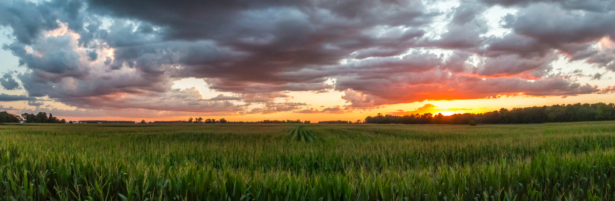 Ohio Cornfield at Sunset