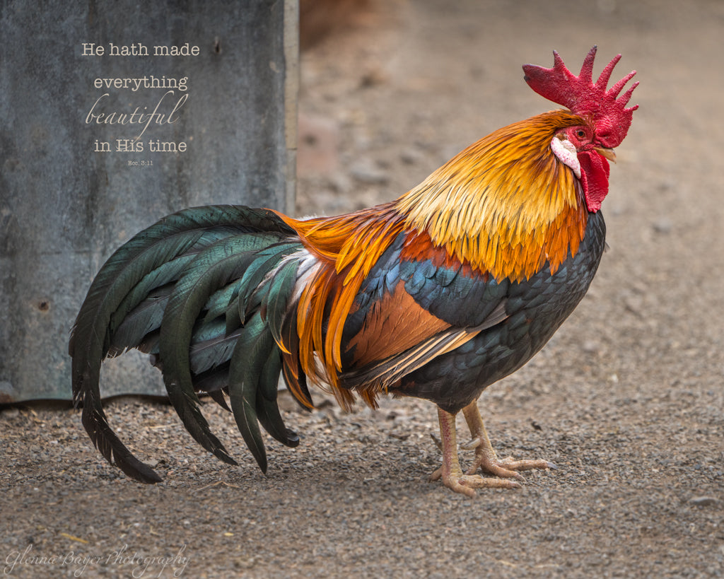 Beautiful Rooster in Australia with scripture verse